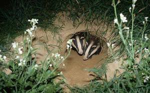 badgers in set